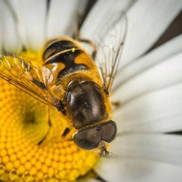Arılar Balı Nasıl Üretiyor?